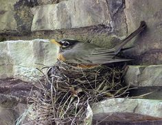 sweet. American Robin start nesting activities in April.  The ones on my shutter are starting to incubate their eggs.  Photo by Joe Sebastiani