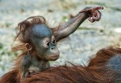 . Cute Baby Animals, Animals And Pets, Funny Animals, Baby Orangutan, Chimpanzee, Cat Furry, Dog Cat, New World Monkey, Ape Monkey