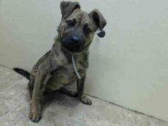 SAFE - 02/25/15 by Waggin Train Rescue --- Brooklyn Center  MONKEY - A1028098  MALE, BR BRINDLE, GERM SHEPHERD MIX, 5 mos STRAY - STRAY WAIT, HOLD FOR EVENT Reason STRAY  Intake condition UNSPECIFIE Intake Date 02/16/2015 https://www.facebook.com/Urgentdeathrowdogs/photos/pb.152876678058553.-2207520000.1424452964./964037890275757/?type=3&theater