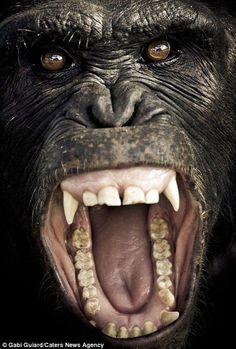 chimpanzee-Human languages are characterized for having a double articulation  It means that complex linguistic expressions can be broken down in meaningful elements (such as morphemes and words), which in turn are composed of smallest phonetic elements that affect meaning, called phonemes. Animal signals, however, do not exhibit this dual structure.