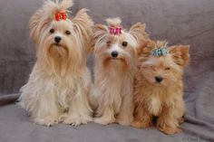Golddust Yorkshire Terrier