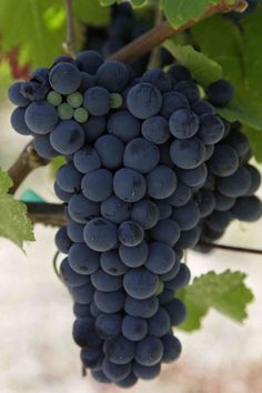 Malbec grapes are deep purple and tightly clustered together. Fruit And Veg, Fruits And Veggies, Fresh Fruit, Vegetables, Malbec Wine, Wine Varietals, Wine News, Fruit Photography, Beautiful Fruits