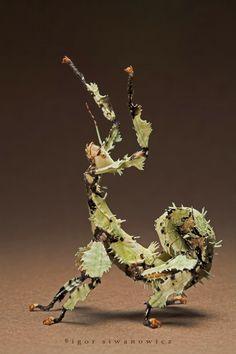 Bicho-Pau-espinhoso-gigante (Extatosoma tiaratum) endêmico da Austrália.                                                                                                                                                                                 Mais