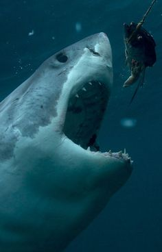 Great White Sharks : ⚓ByDiver969⚓
