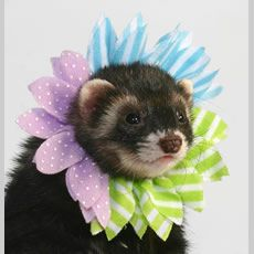 1000 Images About Ferrets☆ On Pinterest Ferret Toys