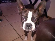 bc1497bf4cd440659f8a6fedc24bb7b3 Boston Terrier, Adoption, Africa, Pets, Shop, Animals, Foster Care Adoption, Boston Terriers, Animales