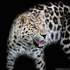 Amur Leopard by Gary Brookshaw on 500px