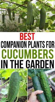 Best Companion Plants For Cucumbers In The Garden Home Gardenist is part of Cucumber gardening - The vines of cucumber plant tend to spread around a lot of space which also has a directly proportional relation with its nutrient meter Garden Types, Home Vegetable Garden, Herb Garden, Garden Plants, Potager Garden, Terrace Garden, Flowering Plants, Indoor Garden, Gardening For Beginners