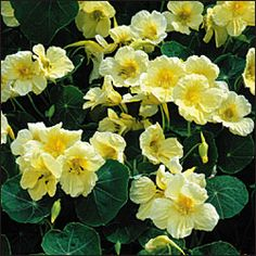 Milkmaid Nasturtium - will climb to about 6ft