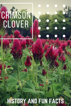 Take a journey in time with interesting factoids and history of our hand-picked heirloom plants and vegetables. ‪#‎tbt‬ This week: Crimson Clover