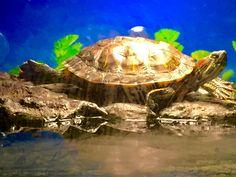 Zuriel, my red ear slider enjoying life while I am working Turtle Habitat, Red Eared Slider, Enjoying Life, Turtles, Sliders, Habitats, Animals, Animales, Turtle