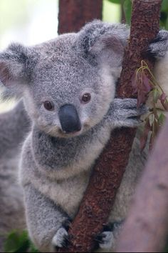 Come on people get a pet sure their hard work but its worth it look at the adorable Koala Bear look