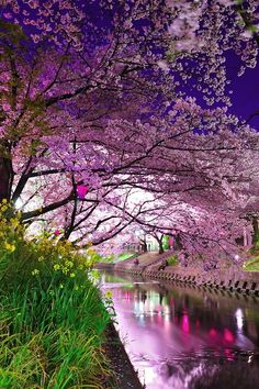 Cherry Blossom River, Kyoto, Japon