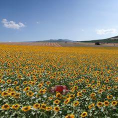 Sunflowers & Beautiful Greece