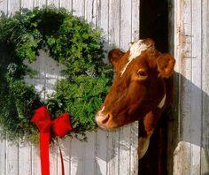Christmas cow.