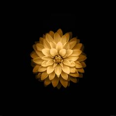 papers.co-ad39-apple-yellow-lotus-iphone6-plus-ios8-flower-8-wallpaper.jpg 2,048×2,048픽셀
