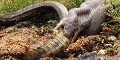 ?? Snake Eats Crocodile By Swallowing It Whole !! see what happened