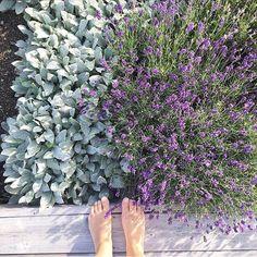 """Sommar i trädgården! Älskar färgkombinationen mellan """"lavendel"""" och """"lammöra"""" 💕Kram Jenny (love the colours in my garden right now)… Flower Beds, Perennials, Planters, Bed Ideas, Garden, Flowers, Instagram, Tips, Inspiration"""