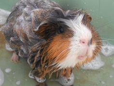 Bath time for piggie