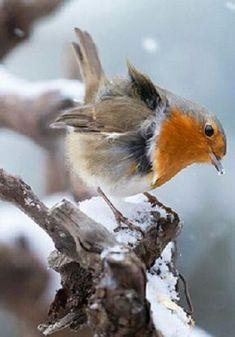 Rocky Robin  Robin bird photography snow.