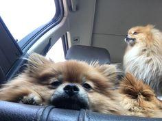 Bebes Zenteno Pom Dog, Hapkido, Small Dogs, Animals And Pets, Pomeranians, Puppies, Drake, Doggies, Wednesday