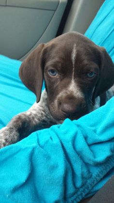 Gorgeous blue eyed German short haired pointer puppy