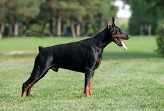 Doberman a large dog of a German breed with powerful jaws and a smooth coat, typically black with tan markings.
