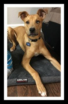Meet BLUE, an adopted Labrador Retriever & Cattle Dog Mix Dog, from Southern Star Animal Rescue in Winchester, CA on Petfinder. Learn more about BLUE today. Rescue Puppies, Dog Mixes, Animal Rescue, Labrador Retriever, Adoption, Dogs, Blue, Animals, Animales