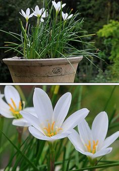 Zephyranthes candida, aka white rain lilies.  The toughest rain lily for North Central Texas.  Loves sun and water.  Another favorite!