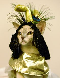 Many feline lovers are dressing up their pets as Halloween approaches. From Cleopatra-inspired headgear to a full-on scuba suit, see domesticated animals getting wild with their wardrobes! Funny Cats, Funny Animals, Cute Animals, Animal Fun, Cute Cats And Kittens, Cool Cats, Crazy Cat Lady, Crazy Cats, Cat Dressed Up