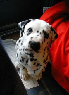 Hey there, sweet pup! Looks like what bailey would have looked like as a little pup :) I'm a sucker for all things Dalmatian Cute Puppies, Cute Dogs, Dogs And Puppies, Doggies, Dalmatian Puppies, Baby Dogs, Baby Baby, Love My Dog, Puppy Love