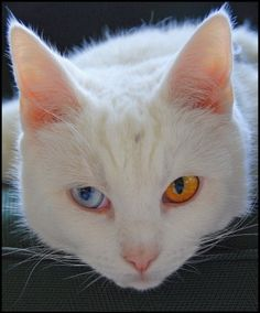 In anatomy, heterochromia (Greek: heteros 'different' + chroma 'color') refers to a difference in coloration, usually of the iris but also of hair or skin.