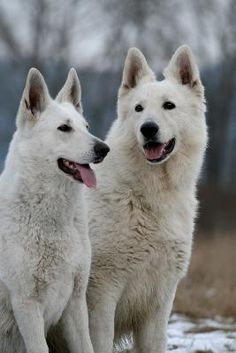 White shepherd litter - mother BBI WORLD WINNER 08. My dad had a white shepherd as a kid - said he was an amazing dog