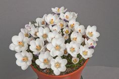 Crocus chrysanthus Ladykiller