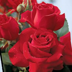One of the most magnificent red roses ever is a fitting tribute to the men and women who've served our country. Plump buds unfurl into huge, highcentered blossoms in a bright, true red.