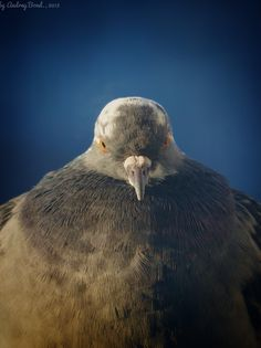 The Angry Dove #dove