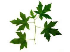 Liquidambar orientalis - Oriental Sweetgum leaves