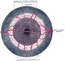 Iris (anatomy)