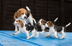 The beagle parade, left, right.....