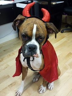 He was a Devil Dog for Halloween!