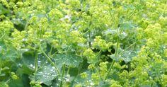Vrouwenmantel (Alchemilla mollis) - p9 - De Tuinen van Appeltern