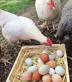 Egg-Eating Chickens...Tips on why & how to break the habit  http://www.the-chicken-chick.com/2012/10/egg-eating-chickens-how-to-break-habit.html