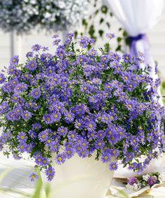 Další novinka v naší nabídce pro sezonu JARO 2014:  Balkonové sedmikrásky - modré. Neúnavně nakvétající záplava květů! Velmi rychle se rozrostou do bohatých polštářů a potom kvetou vytrvale a dlouho. Květy na konci dlouhých stvolů vydrží nakvétat znovu a znovu od jara až do podzimu. Kvetení podpoříte dobrou zeminou, pravidelnou zálivkou a hnojením. Jsou samočisticí, odolné vůči nepříznivému počasí.  Stanoviště: slunce - polostín.  Doba kvetení: květen - září.  Délka: do 50 cm.