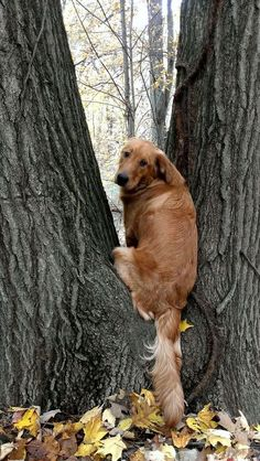 Golden Retriever perched in a tree