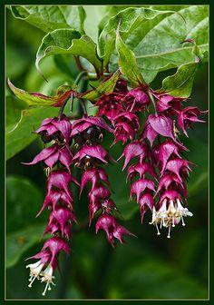 Leycesteria formosa (Himalayan Honeysuckle)