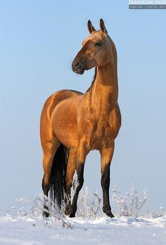 Buckskin/dun Akhal-Teke horse - Equine Photography by Ekaterina Druz