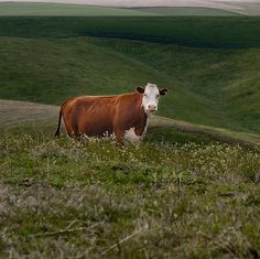 In late May, a cow named Yvonne decided not to be eaten, and broke through an electric fence to escape from the farm in Bavaria where she was being fattened for slaughter. No one has been able to catch her, and as her time on the run approaches three months, the search for what is now a celebrity cow has gotten somewhat out of hand.