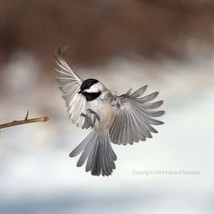 Carolina Chickadee coming in for a landing ~ Edward Mistarka.I love watching these everyday through my window! Small Birds, Little Birds, Love Birds, Beautiful Birds, Pet Birds, Animals Beautiful, Angry Birds, Birds Flying Away, Birds In Flight