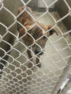 PLEASE TIME IS UP!!! Boxer mix 1-2 years old, male.   HAS UNTIL NOON TOMORROW OR WILL BE PTS!!!   Kennel A3 ********** Adoption fee $51   Located at Odessa, Texas Animal Control.