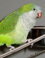 About Quaker Parrot: Training, Temperament & Characteristics